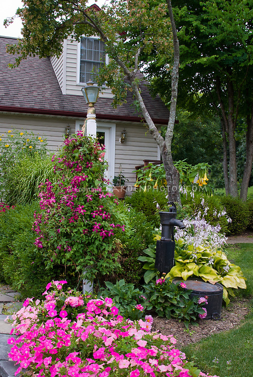 Petunias and Dahlias and Clematis in pink color theme garden flowers, with buxus, old fashioned water pump, yellow hostas in bloom, Cape Cod style house, stone wall, lamp post, curb appeal, vines, trees, perennials, annuals mixed combination of plantings, Clematis vine supported on lamp post