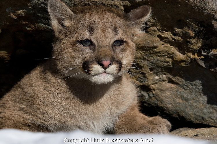 Cougar cub (Puma concolor) at the entrance to a rock crevice.  Winter.  Minnesota.