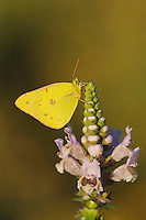 Orange Sulphur (Colias eurytheme), dew covered male perched on Rattlesnake flower (Brazoria truncata), Fennessey Ranch, Refugio, Coastal Bend, Texas Coast, USA