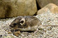 MU31-065b  Silky Pocket Mouse - Perognathus flavus