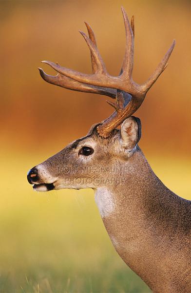 White-tailed Deer, Odocoileus virginianus, Buck, Choke Canyon State Park, Texas, USA, Oktober 2003