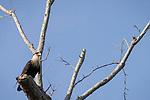 Brazoria County, Damon, Texas; a Crested Caracara bird standing on a tall tree branch in late afternoon sunlight against a blue sky