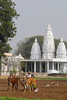 INDIA, Madhya Pradesh, farmer, man and woman, plowing field with cows infront of Hindu temple
