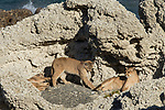 Mountain Lion (Puma concolor) six month old cub playing with mother in shelter of calcium deposits, Sarmiento Lake, Torres del Paine National Park, Patagonia, Chile