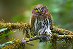 Northern Pygmy-Owl (Glaucidium gnoma). Multnomah County, Oregon. June.