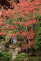 Red fall color in Japanese Tea Garden in Golden Gate Park, San Francisco, California. Japanese Maple and waterfall.