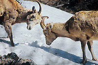 Bighorn sheep ewes (Ovis canadensis) showing a bit of dominance behavior.