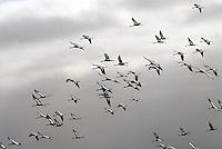 Kranich: DEUTSCHLAND, MECKLENBURG-VORPOMMERN, ZARRENTIN, (GERMANY, MECKLENBURG POMERANIA), 06.10.2008:  Europa, Deutschland, Mecklenburg Vorpommern, Zarrentin, Landkreis Ludwigslust, Testorf, aerial picture, aerial view, animal, birds, birds eye view,  cranes, Deutschland, Familie, fliegen, flight, Flug, flying, Gemeinschaft, Germany, Grus grus, Gruppe, Herbst, herbstlich, Kranich,  migration of birds, miteinander, Reise nach Sueden,  Schwarm, Tier, Voegel, Vogel, Vogelflug, Vogelperspektive, Vogelschwarm, Vogelzug, Zugvoegel, Zugvogel, Luftaufnahme, Luftbild, Luftansicht, .c o p y r i g h t : A U F W I N D - L U F T B I L D E R . de.G e r t r u d - B a e u m e r - S t i e g 1 0 2, 2 1 0 3 5 H a m b u r g , G e r m a n y P h o n e + 4 9 (0) 1 7 1 - 6 8 6 6 0 6 9 E m a i l H w e i 1 @ a o l . c o m w w w . a u f w i n d - l u f t b i l d e r . d e.K o n t o : P o s t b a n k H a m b u r g .B l z : 2 0 0 1 0 0 2 0  K o n t o : 5 8 3 6 5 7 2 0 9.V e r o e f f e n t l i c h u n g n u r m i t H o n o r a r n a c h M F M, N a m e n s n e n n u n g u n d B e l e g e x e m p l a r !.