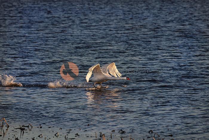 Mute Swan taking off from water in flight