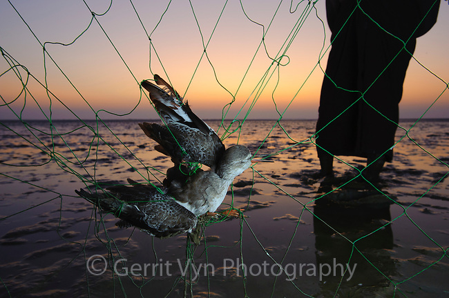 Terek Sandpiper caught in the net of a subsistence hunter on Nan Thar Island. Rakhine State, Myanmar. January.