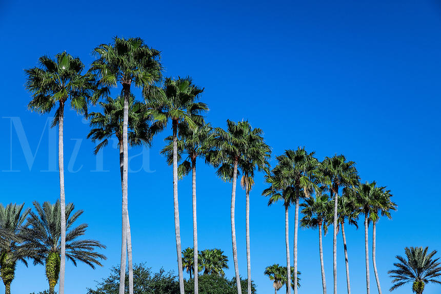 Tropical palm trees, Kissimmee, Florida, USA.
