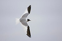 Breeding adult Sabine's Gull (Xema sabini) in flight. Teshekpuk Lake, Alaska. July.