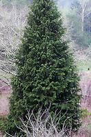 Chamaecyparis lawsoniana - Port Orford Cedar, California native conifer tree,      Regional Parks Botanic Garden