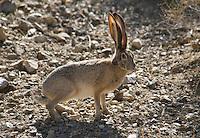 Black-tailed jackrabbit, Lepus californicus.  Wildrose Canyon, Death Valley National Park, California