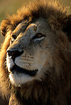 Portrait of a Lion (Panthera leo). Serengeti National Park - Tanzania