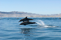 Common dolphins (Delphinus delphis) Gulf of California.A pair of common dolphin in a tearing hurry., Baja California, Mexico, Pacific Ocean