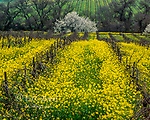 Mustard, Carneros Appellation, Napa Valley, California