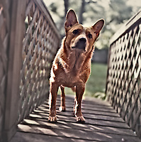 Layla, an AUstralian Cattle Dog, or Red Heeler, poses for a photo on a wooden bridge in Holly Hill, Florida.  (Photo by Brian Cleary/www.bcpix.com)
