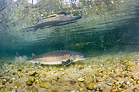 Adriatic sturgeon (Acipenser naccarii) IUNC Red List more critically endangered. It's a species of fish in the family Acipenseridae. It is native to the Adriatic Sea. Swimming under the surface, captive in Parco del Ticino, Biosphere Reserve, Lombardia, Italy.
