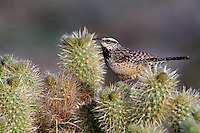 Cactus wren in cholla<br /> Anza-Borrego Desert State Park<br /> Sonoran Desert<br /> California