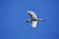 A Great egret (Casmerodius albus) in flight.