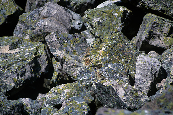 American Pika (Ochotona princeps) in alpine rock field habitat.  Cascade Mountains, WA.