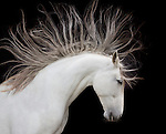 """Andalusian horse<br /> <br /> The print can be purchased directly from https://store.artwolfe.com/product/spirit-horse/<br /> <br /> From the classic royalty of the Andalusian to the casual confidence of the American quarter horse to the spirited herds of the Camargue, the horse has long captivated me as a symbol of power, grace and form. I began my love affair with the horse on the Serengeti Plain of Tanzania and Kenya, where vast herds of zebras, spirited and wild, cross the open landscape. Naturally, my lens turned toward the zebra's domesticated cousin. """"Spirit Horse"""" is the culmination of this fascination.<br /> <br /> Canon EF 70-200mm f/4L USM Lens"""