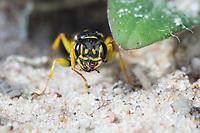 Kotwespe, an ihrem Bau, Nest, Neströhre, Niströhre, Grabwespe, Mellinus arvensis, field digger wasp, Grabwespen, Crabronidae