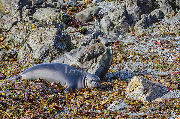 """Northern Elephant Seal (Mirounga angustirostris) pup (often called """"weaners"""") resting in seaweed and kelp that has washed up on beach.  Central California coast."""