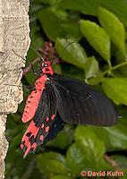 0402-08nn  Semperi Butterfly, Atrophaneura semperi, Philippines © David Kuhn/Dwight Kuhn Photography