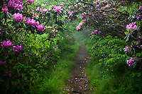 Rhododendron along Craggy Pinnacle Trail, Craggy Gardens