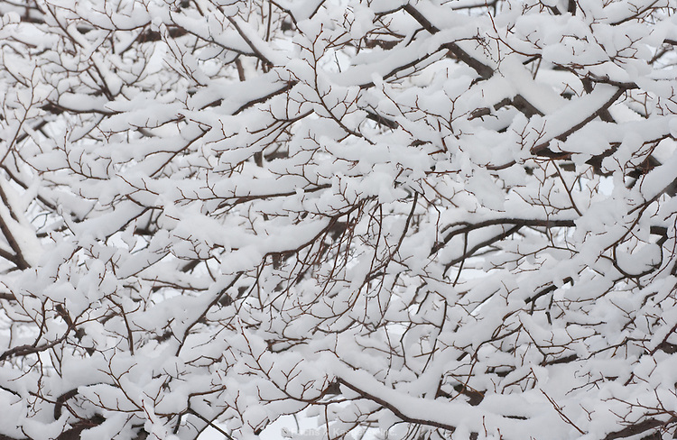 Snow covers the branches of a tree.