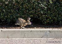 0717-1007  Desert Cottontail Rabbit Running (Audubons Cottontail), Sylvilagus audubonii  © David Kuhn/Dwight Kuhn Photography