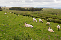 Northumberland, England, UK.  Sheep Grazing in Pasture along Hadrian's Wall Footpath.  Highway B6318 in distance on left.