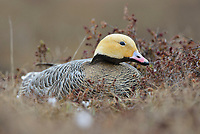 Female Emperor Goose (Chen canagica) sitting on its tundra nest in early spring. Yukon Delta, Alaska. June.