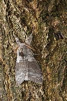 Buchen-Streckfuss, Buchen-Streckfuß, Buchenstreckfuß, Streckfuß, Rotschwanz, Buchenrotschwanz, Männchen, Calliteara pudibunda, Dasychira pudibunda, Olene pudibunda, Elkneria pudibunda, pale tussock, red-tail moth, male, la Pudibonde, Trägspinner, Lymantriidae, Schadspinner, Wollspinner, Lymantriinae