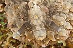 Nudibranch (Dendrodoris tuberculosa)