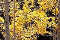 Backlit aspen near Aspen, Colorado