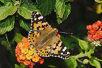 Painted Lady, Vanessa cardui, adult on lantana, Oberaegeri, Switzerland, August 2006