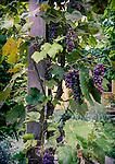 9.16.16 - Low-hanging Fruit....