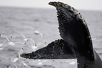 Humpback whale Megaptera novaeangliae raising tail to dive near Spitzbergen arctic Norway