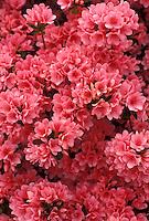 AJ3371, azalea, flower, blossom, Cluster of pink blossoms on an azalea bush.
