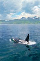 killer whale or orca, Orcinus orca, Rausu, Shiretoko, Hokkaido, Japan, Pacific Ocean