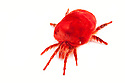 Giant Indian Velvet Mite {Trombidium grandissimum}, photographed on a white background. Captive, originating from India. website