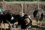 Foto: VidiPhoto..OUDTSHOORN - De struisvogels van de Highgate Ostrich Farm bij het Zuid-Afrikaanse Oudtshoorn worden gebruikt om de veren te plukken. Highgate is één van de 270 struisvogelfarms in de West-Kaap die de laatste jaren als paddestoelen uit de grond zijn geschoten. Het bedrijf heeft 1200 vogels op 1500 ha. De veren worden gebruikt voor onder meer plumeaus. Struivogelvlees neemt op dit moment in populairiteit enorm toe omdat er maar 3 procent vet in zit. Met name Europa importeert veel struisvogelvlees. Zuid-Afrika is inmiddels eén van de grootste struisvogelvleesexporteurs ter wereld.