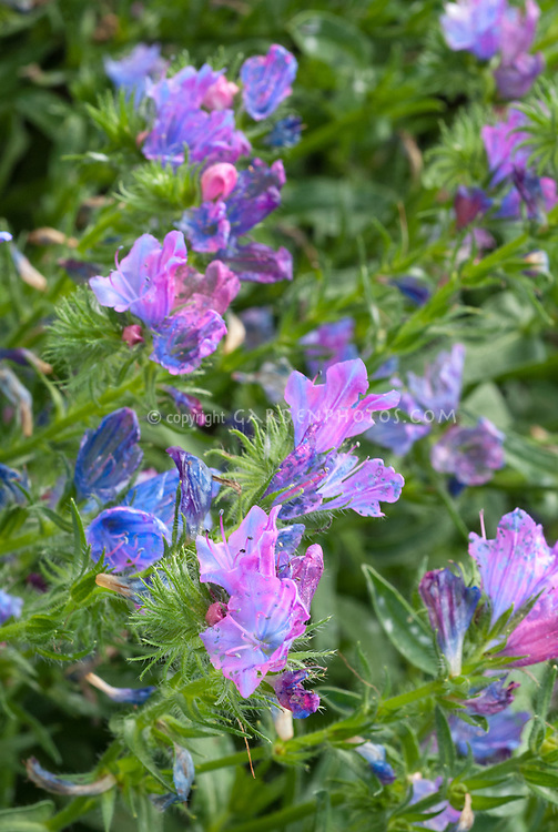 Echium vulgare Blue Bedder