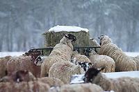 Sheep feeding on hay in the snow -  Rutland, February
