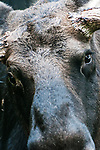 Moose bull close-up of eyes, vertical.