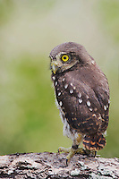 Ferruginous Pygmy-Owl, Glaucidium brasilianum, young newly fledged, Willacy County, Rio Grande Valley, Texas, USA, June 2006