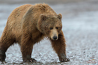 Brown Bear Sow in pursuit of clams at low tide, Cook Inlet, Alaska
